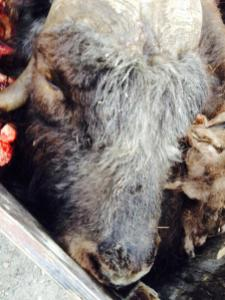 A dead muskox hunted by trophy hunters in the back of a truck. © Daniel Nichita, August 2014.