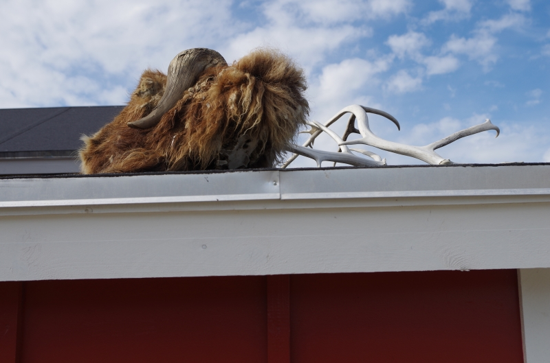 A muskox decorates the roof of a house in Kangerlussuaq. © Mia Bennett, August 2014.