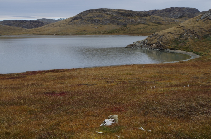 The end of the muskox economy? © Mia Bennett, August 2014.
