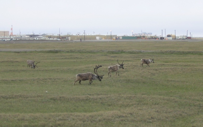 A herd of caribou in Prudhoe Bay. Photo: Nick Bonzey/Flickr