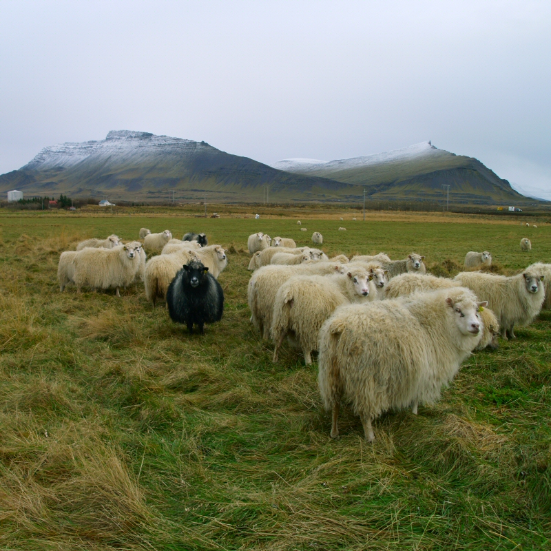 Will China be the Arctic's black or white sheep? Photo: Atli Harðarson/Flickr