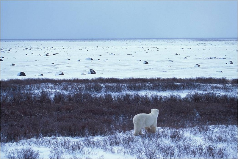 What way forward for the U.S. Arctic? Photo: Polar Bear and a Barrier Island on the Alaska Arctic Coast. USFWS/Flickr