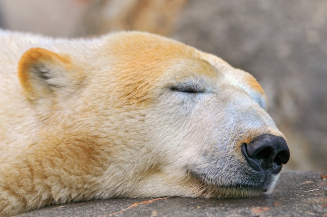 The U.S.: Keen to let sleeping bears lie in the Arctic. Photo: Tambako the Jaguar/Flickr