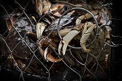 Trapped crab in Alaska. Photo: Boris Kasimov/Flickr.