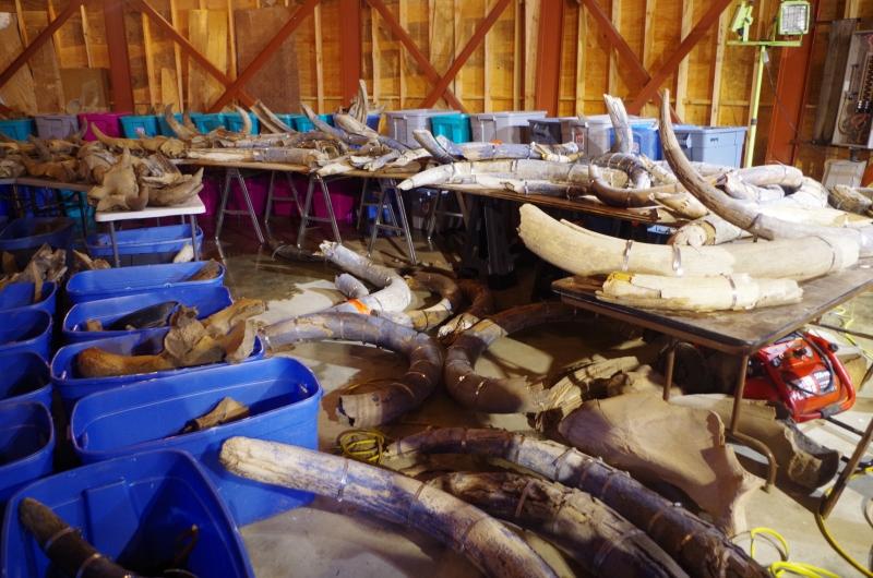 The big kahuna of mammoth specimens.