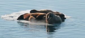Walruses on an ice floe. Photo: Tatiana Posepelova