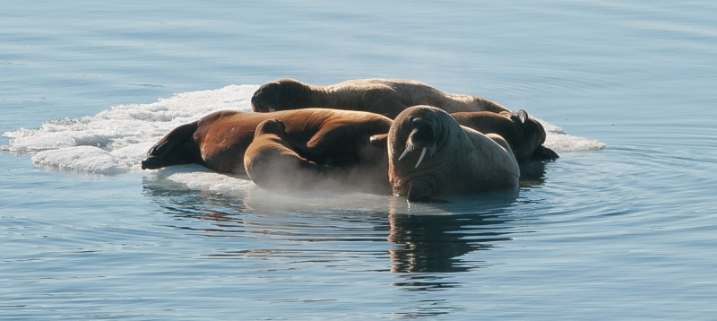 Walruses on an ice floe. Photo: Tatiana Posepelova