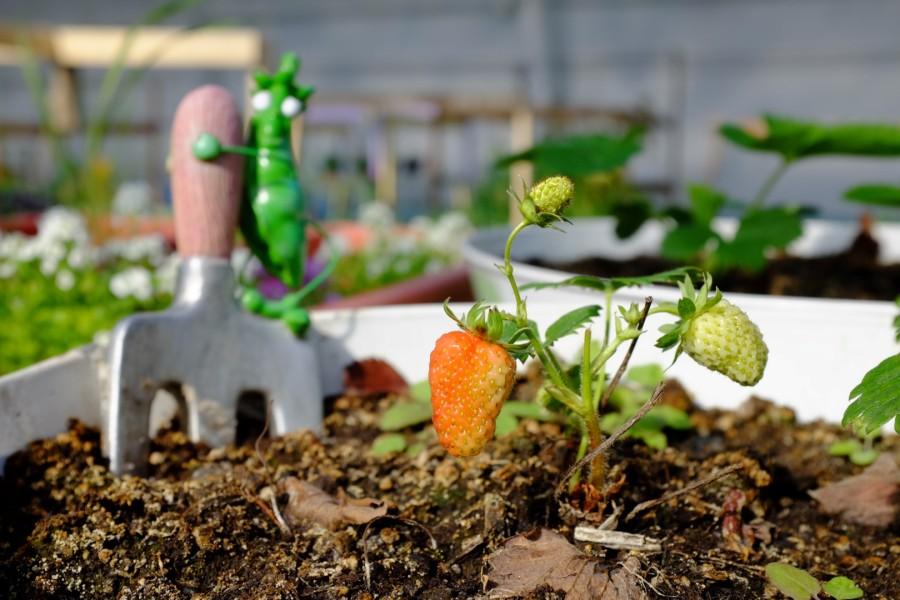 Strawberries-Inuvik-Greenhouse