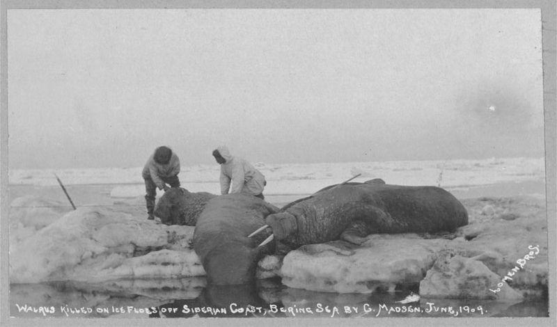 Walrus killed on ice floes off Siberian Coast, Bering Sea