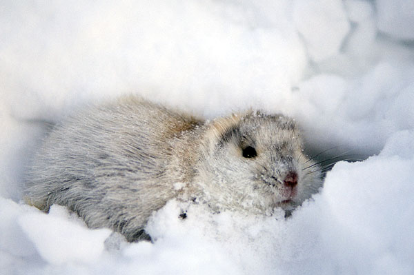 collared-lemming
