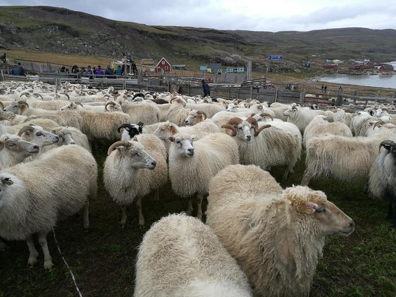 Sheep-Greenland-Qassiarsuk.jpg